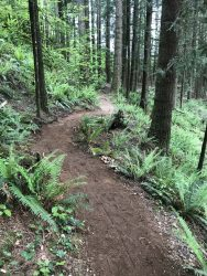 Image of a twisty dirt trail bordered by bright green ferns through a forest