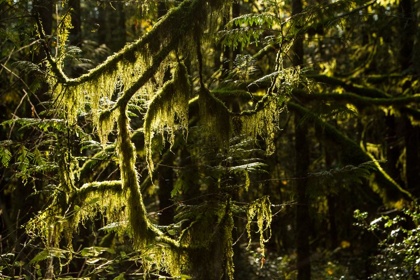 Sunlight shining through the moss covered branches of a cedar tree