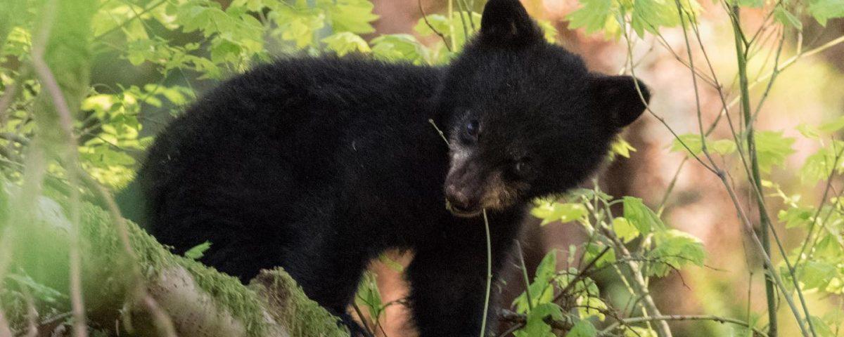 Blakc bear cub photo by Tony Joyce via North Short Black Bear Society