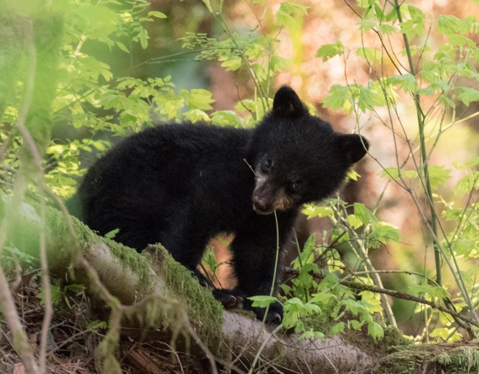 Blakc bear cub photo by Tony Joyce via North Short Black Bear Society