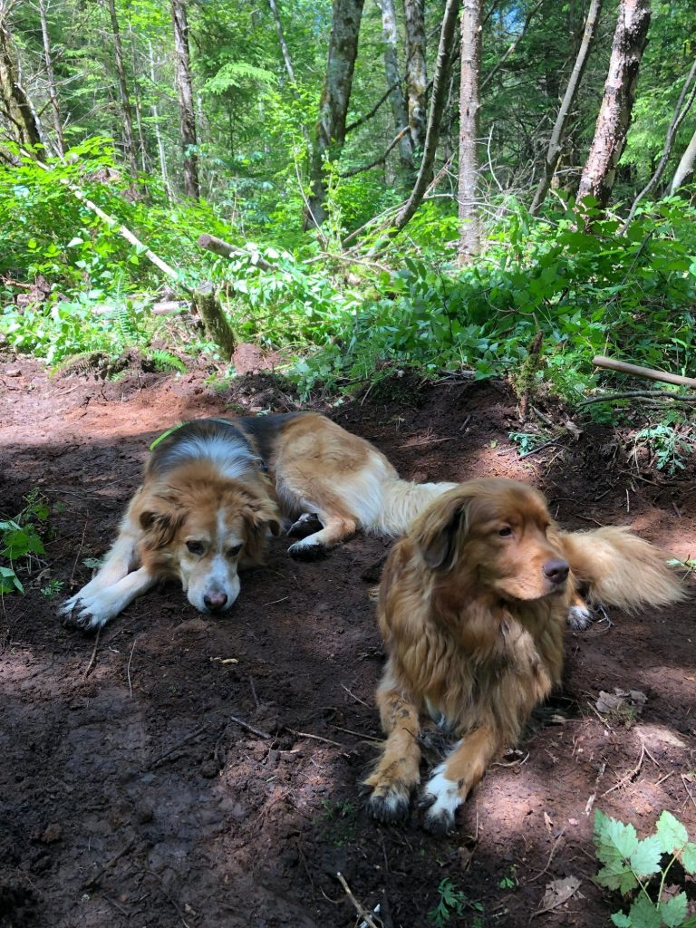 Two fluffy dogs lying on a dirt trail in a lush green forest.