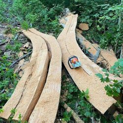 A curved cedar log that has been milled in half and is lying in a forested area